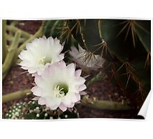 Cacti in the Glasshouse Poster