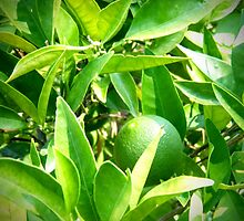 Lime Tree by brusling