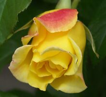 Blooming Rose by James Brotherton