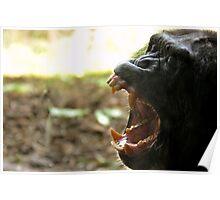 Yawning Chimpanzee  Poster