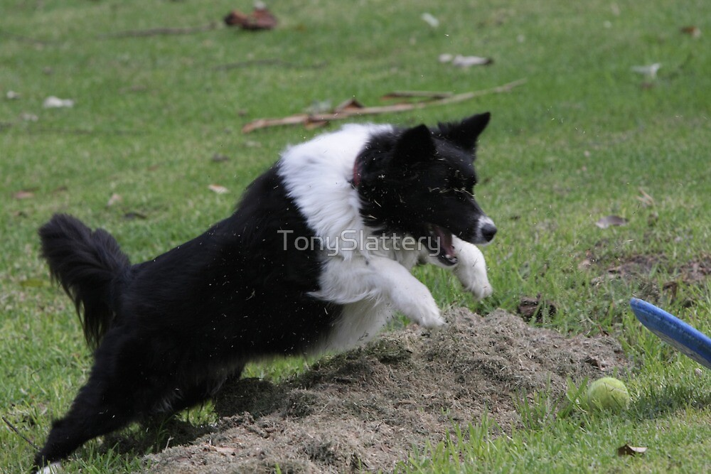 Border Collie Pouncing by TonySlattery