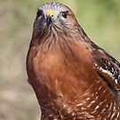 Red-shouldered Hawk by Kimberly Palmer