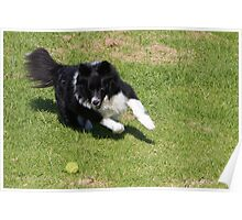 Border Collie Chasing Poster
