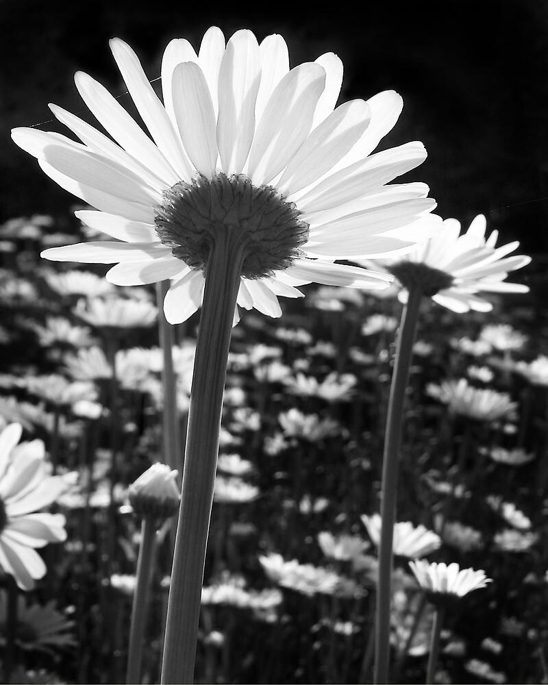 Daisy Dreams by Kathilee