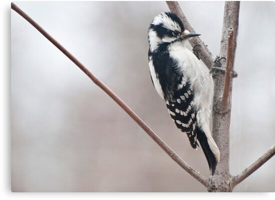 Female Downy Woodpecker ~ Best Viewed Large by barnsis