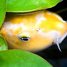 Coy Koi - Yellow and White Koi Under Lily Pads by Kenneth Keifer