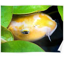Coy Koi - Yellow and White Koi Under Lily Pads Poster