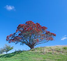 Pohutukawa NZ Christmas tree by Barry Culling