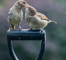 Sparrow feeding by Barry Culling