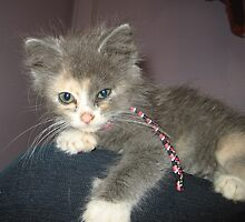 Adorable Dilute Calico Kitten by silverdragon