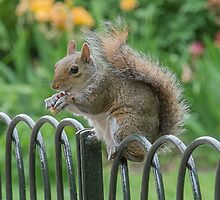 Squirrel on fence by Barry Culling