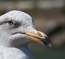 Unhappy Seagull by bobkeenan