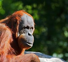 Red Orangutan by bobkeenan