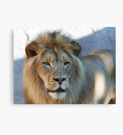 Lion looking right Canvas Print