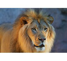 Golden Lion looking right Photographic Print