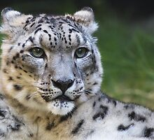 Snow leopard looking right by bobkeenan