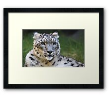 Snow leopard looking right Framed Print
