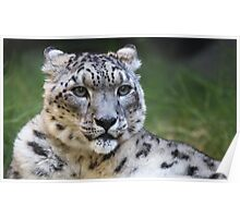 Snow leopard looking right Poster