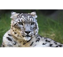Snow leopard looking right Photographic Print