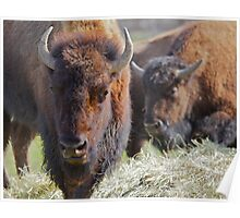 Two Buffalos soft background Poster