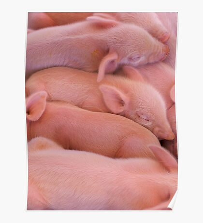 Pile of Piglets Poster