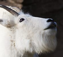 Mountain Goat Looking up by bobkeenan