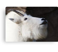 Mountain Goat Looking up Canvas Print