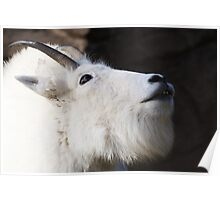 Mountain Goat Looking up Poster