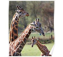 Three Giraffe family narrow DOF Poster