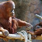 Orangoutang Parent and child by bobkeenan