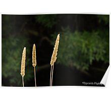 Reeds along Merri Creek Poster