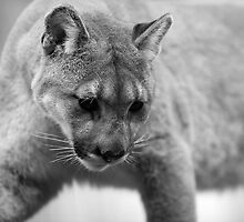 Mountain Cougar by bobkeenan