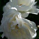 White Roses by PB-SecretGarden