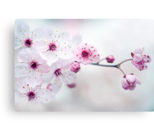 Black Cherry Plum Blossom Canvas Print