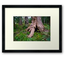 Giant Tingle Tree Framed Print