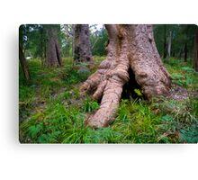 Giant Tingle Tree Canvas Print