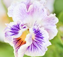 Perfect Frilly Pansy by Alison Hill