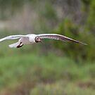 Black-headed Gull in flight by LaurentS