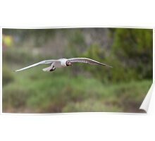 Black-headed Gull in flight Poster