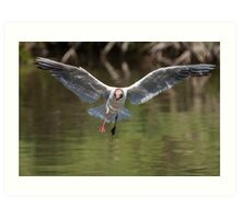 Black-headed Gull in flight with water reflections Art Print