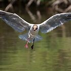 Black-headed Gull in flight with water reflections by LaurentS
