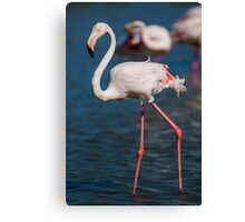 Beautiful female Flamingo in the water Canvas Print