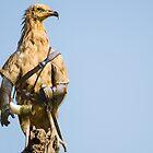 Egyptian Vulture Boromir by Felfriast