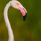Flamingo portret with droplets of water on its head by LaurentS