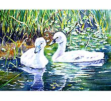 Two Cygnets Photographic Print