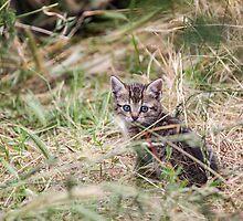 Little Kitten in the bushes by LaurentS