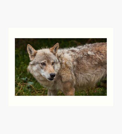 Wolf with beautiful eyes Art Print