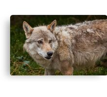 Wolf with beautiful eyes Canvas Print