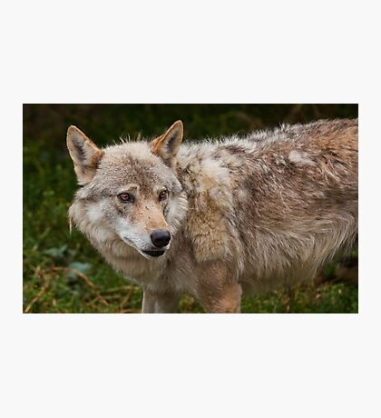 Wolf with beautiful eyes Photographic Print