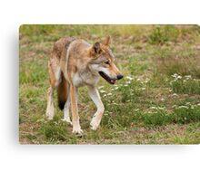 Wolf walking Canvas Print